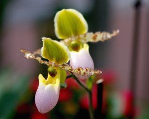 Frauenschuh, Orchideen