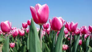 Holland, Tulpen